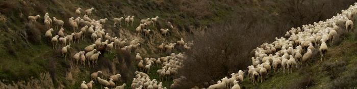Imagen de ovejas pastando
