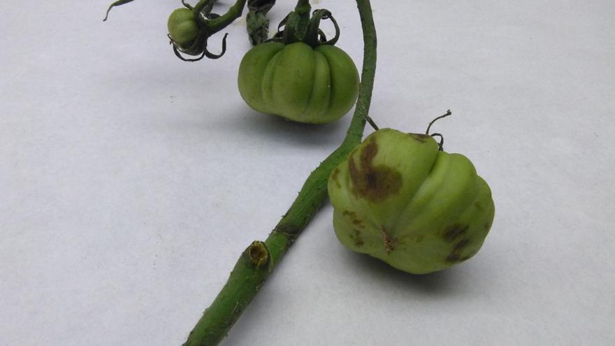 Patología tomate