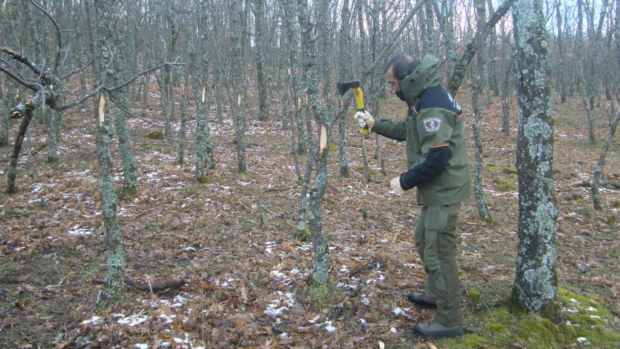 Agente Forestal marcando pies de roble para su aprovechamiento