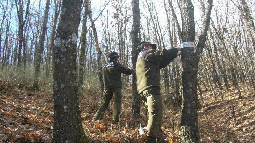 Agentes Forestales delimitando con balizamiento una parcela de corta.