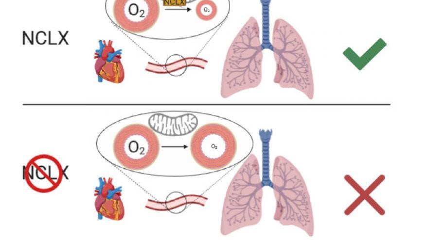 figura ilustrativa del mecanismo de intercambio de sodio