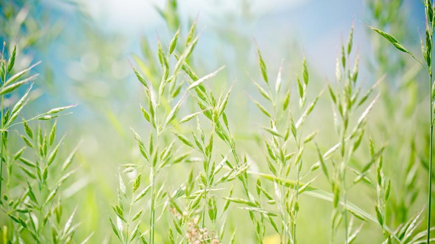 Imagen de plantas gramíneas