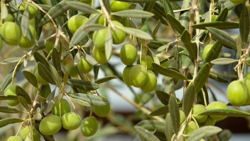 Imagen de hojas y frutos de olivo (Olea)