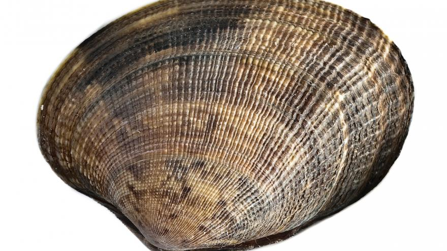 Imagen de almeja japonesa