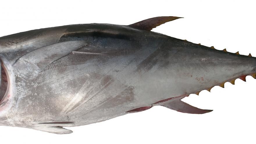 Imagen del atún rojo
