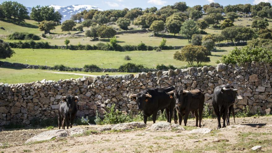 Toros en campo