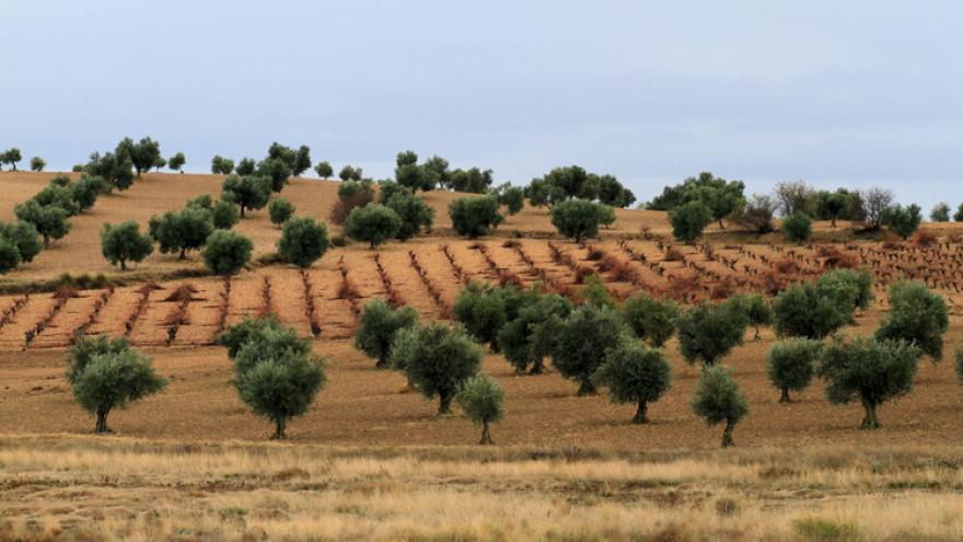 Olivos de Madrid