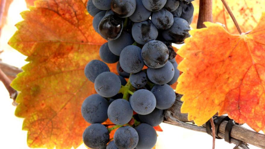 Racimo uva Syrah DOP Vinos de Madrid