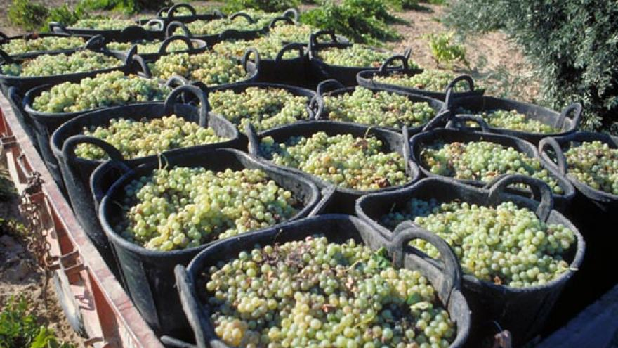 Espuertas con uvas DOP Vinos de Madrid