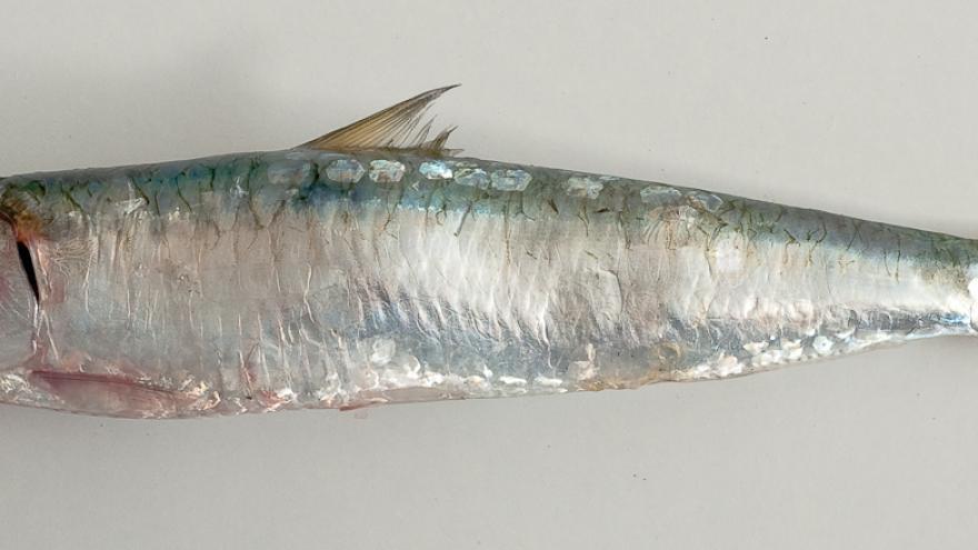 Imagen de sardina