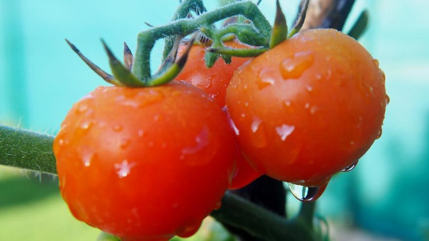 Tomates huerta