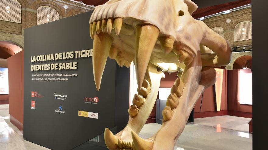 Exposición Tigre dientes de sable