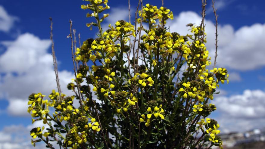 Flora_Pitano (Vella pseudocytisus)