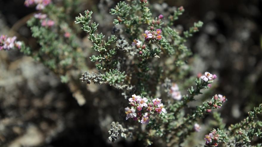 Flora_Frankenia thymifolia