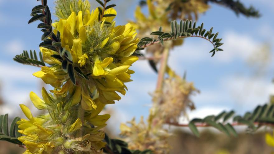 Flora_Astragalus alopecuroides
