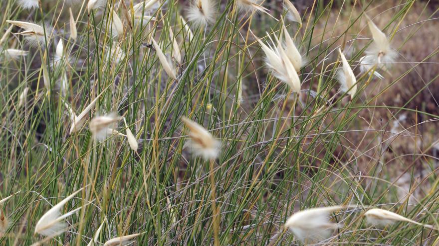 Flora_Albardín (Lygeum spartum)