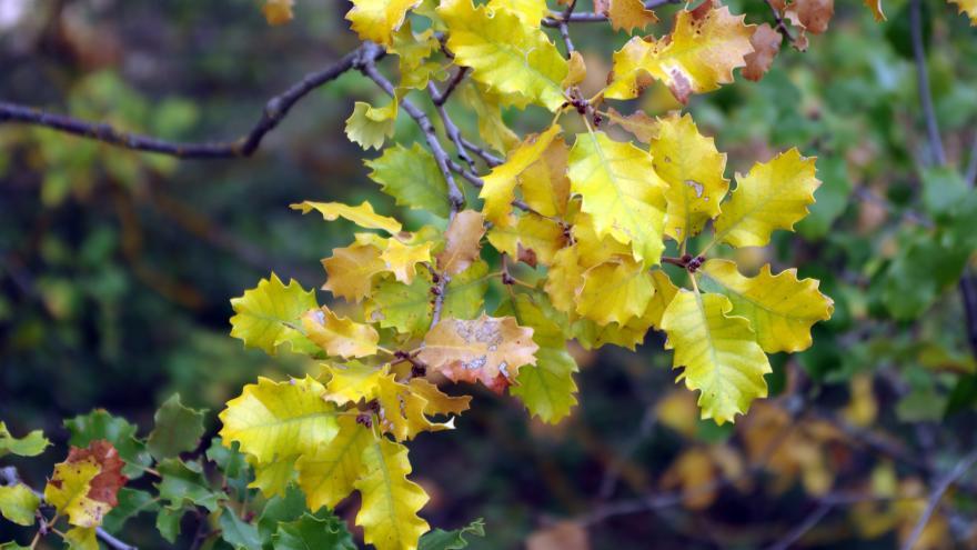 Flora_Quejigo (Quercus faginea)