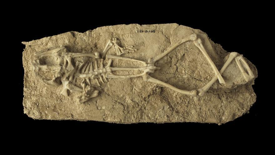 Restos fosilizados de un esqueleto de tigre dientes de sable