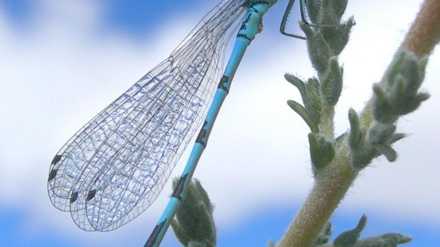 Fauna_Coenagrion mercuriale (Corta narices)