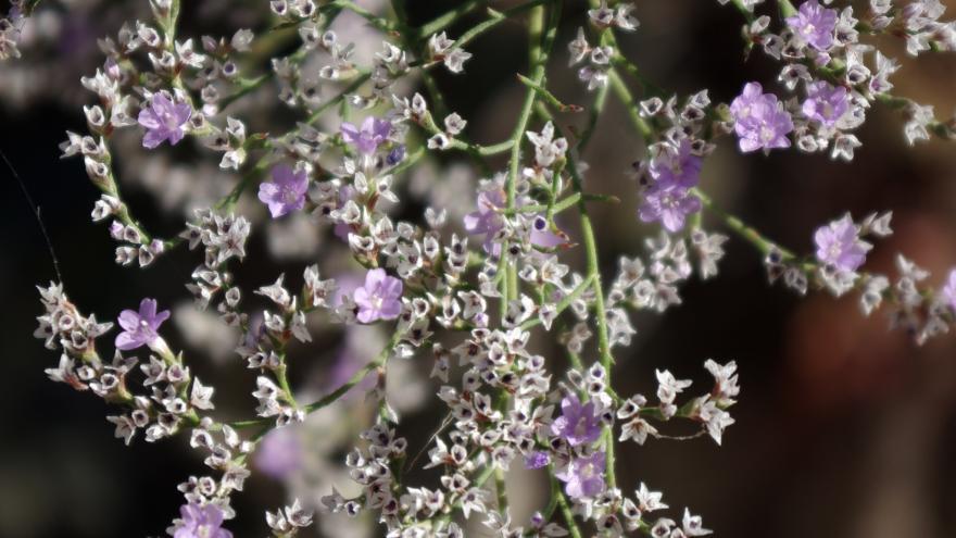 Flora_Limonium dichotomum