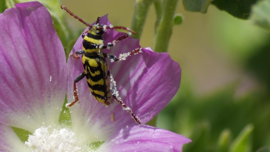 Fauna_Escarabajo avispa