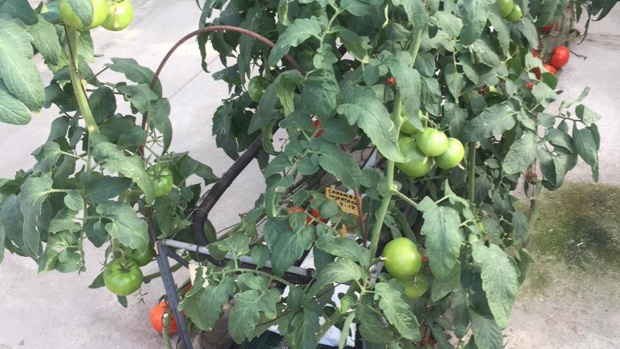 Una mata de tomates