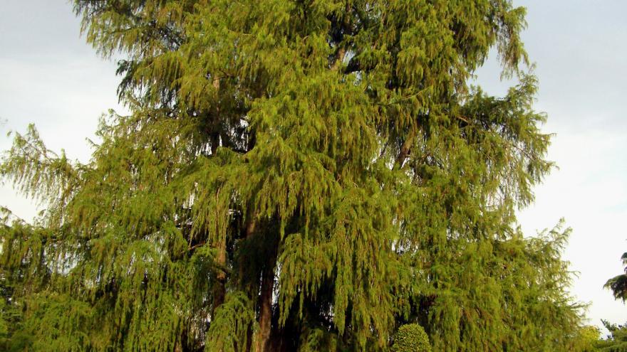 Árbol singular. Ahuehuete del Parterre. Parque del Retiro