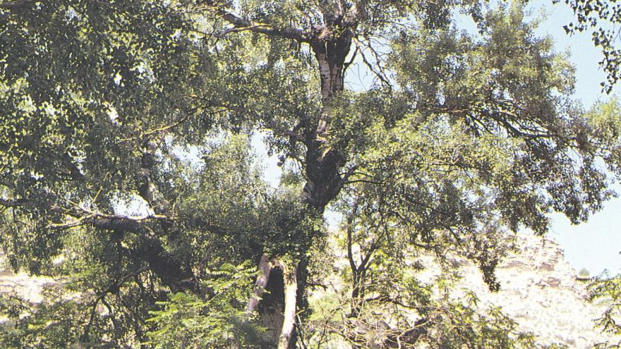 Árbol singular. Álamo blanco de la Presa del Rey. Rivas Vaciamadrid