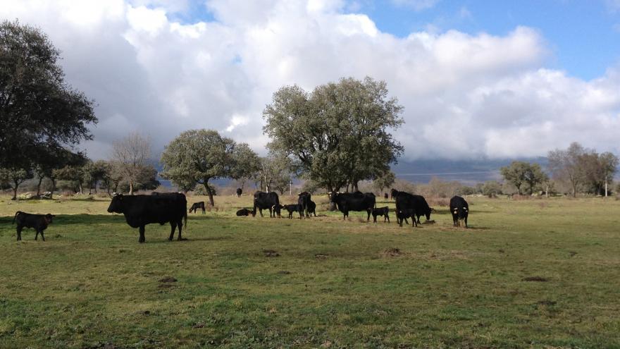 Aprovechamientos forestales. Pasto de raza Avileña en Riosequillo