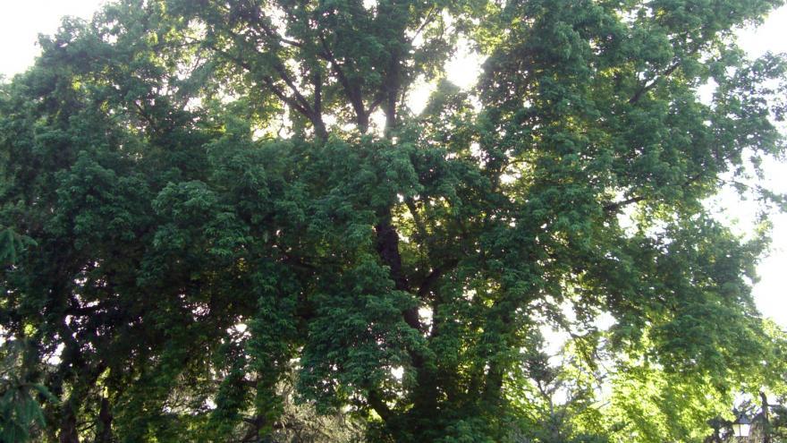 Árbol singular. Arce plateado. Jardines de Cecilio Rodríguez. Madrid