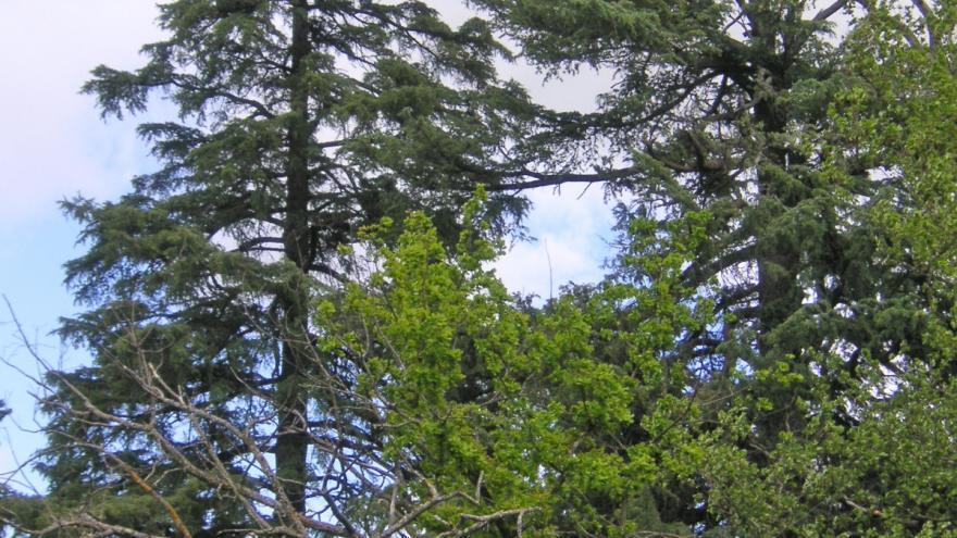 Árbol singular. Cedro del Himalaya de Prado Redondo. Villaviciosa de Odón
