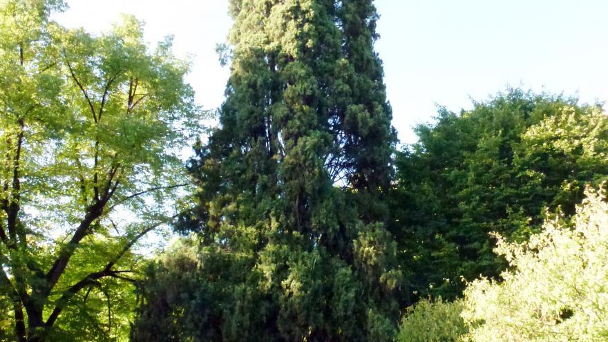 Árbol singular. Ciprés del Real Jardin Botánico de Madrid