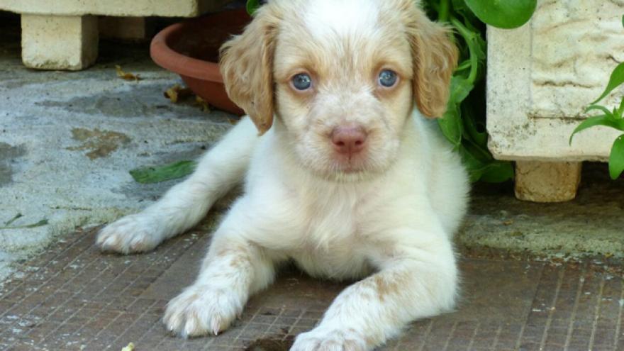 Imagen de un cachorro de perro spaniel bretón