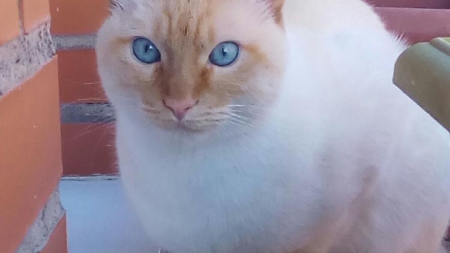 Imagen de un gato con ojos azules
