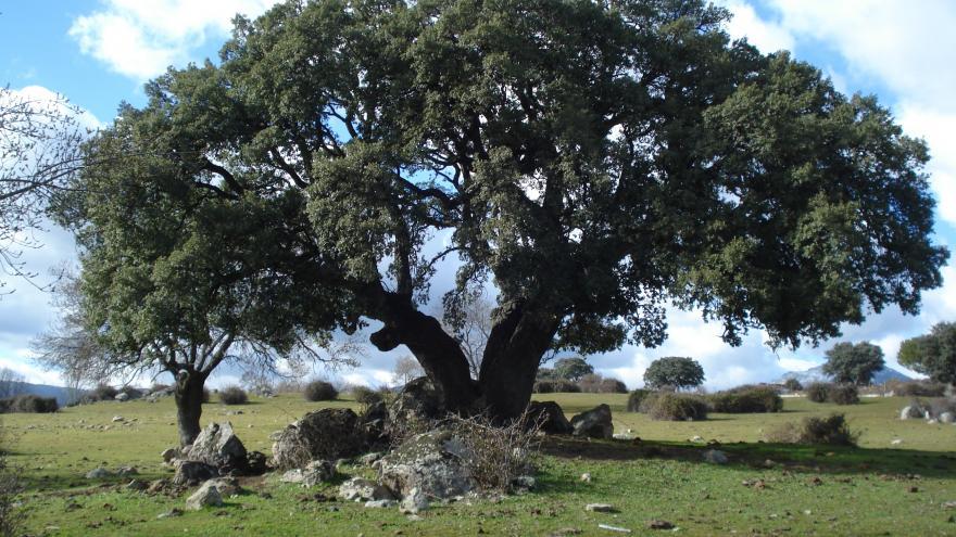 Árbol singular. Alcornoque de la Dehesa de la Jara. Collado Mediano