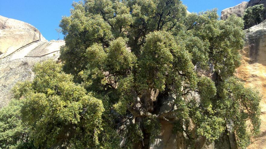 Árbol singular. Alcornoque del Ortigal. Manzanares El Real