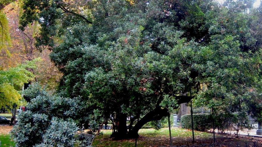 Árbol singular. Madroño. Madrid