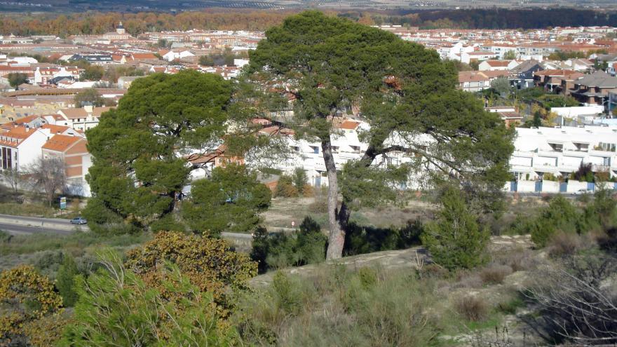 Árbol singular. Pino del Parnaso. Aranjuez