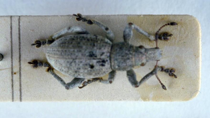 Fauna_Attactagenus zarateae
