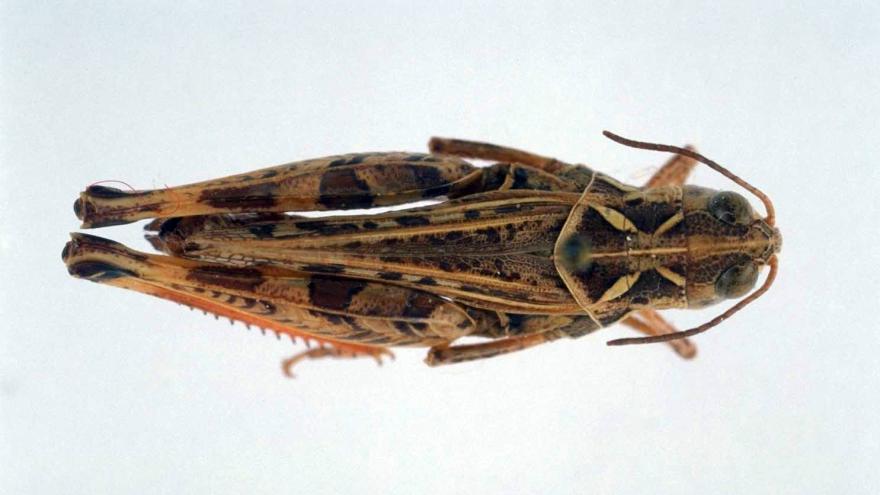Fauna_Dociostaurus hispanicus (langosta)