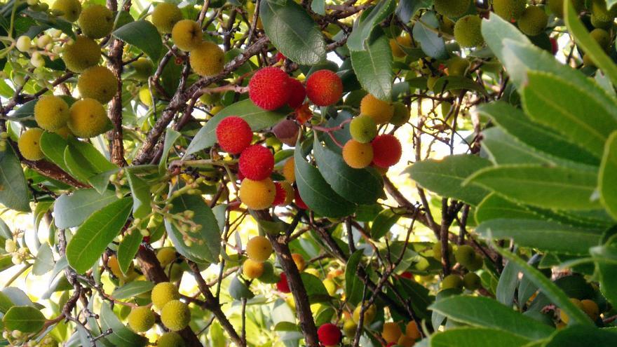Flora_Madroño (fruto)
