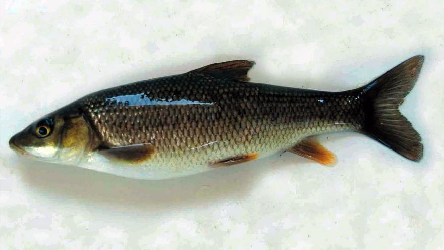 Fauna_Boga de río