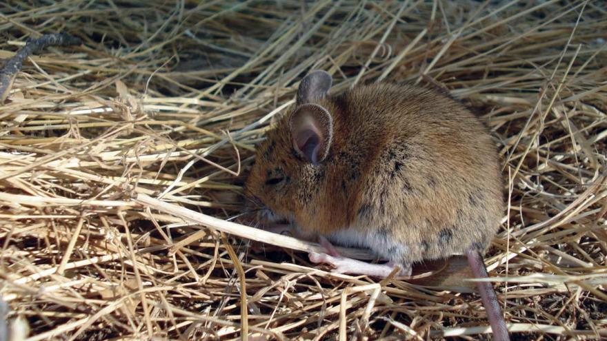 Fauna_Ratón común