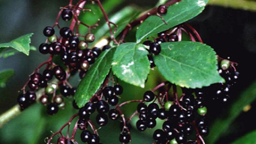 Flora_Hoja y fruto de sauco