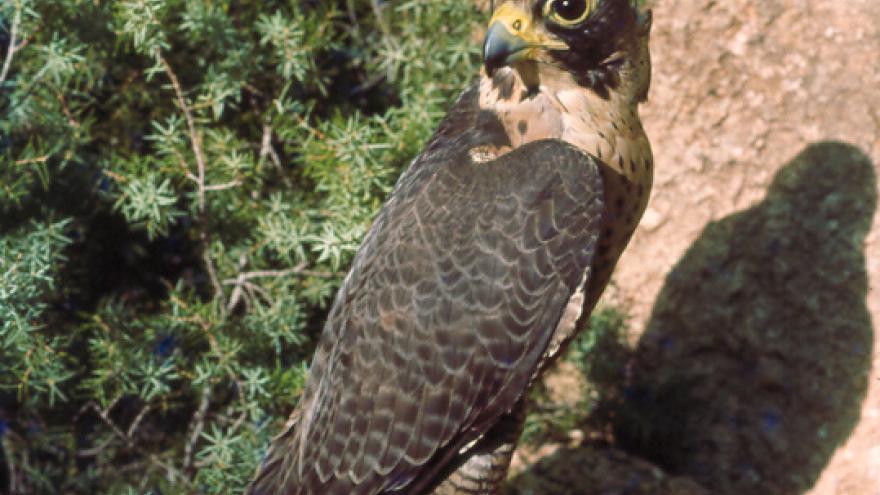 Fauna_Halcón peregrino
