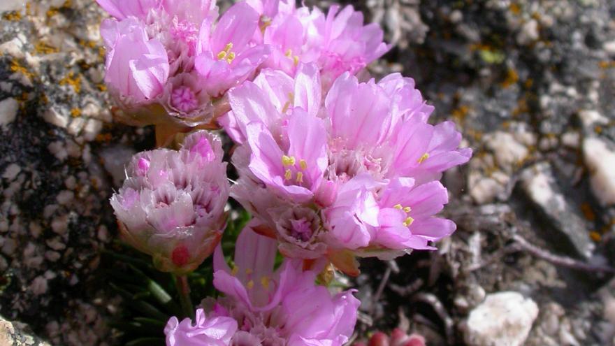 Flora_Erizo de la sierra