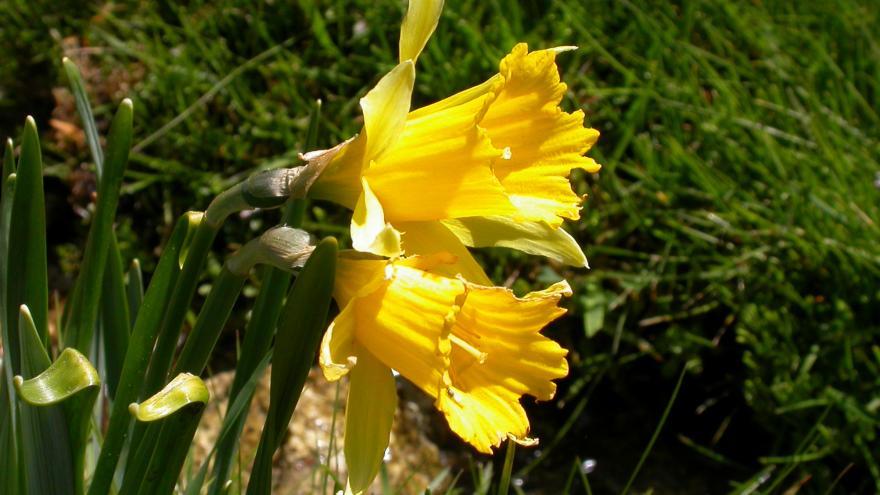 Flora_Narciso de los prados
