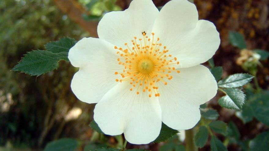 Flora_Flor de jara pringosa