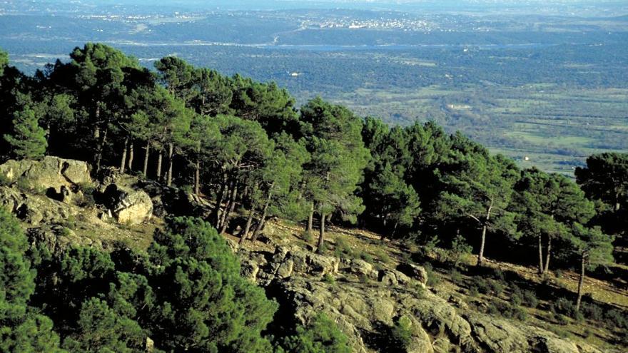 Pinares de pino silvestre en el Monte Abantos