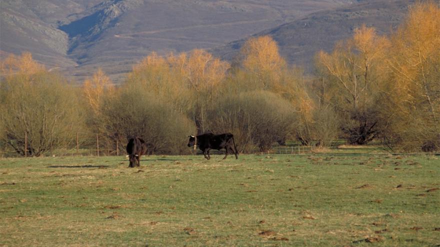 Dos ejemplares de ganado vacuno pastando en una dehesa rodeada de árboles y con montañas al fondo